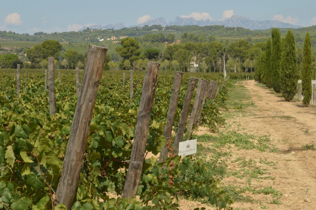 Catalan vineyard