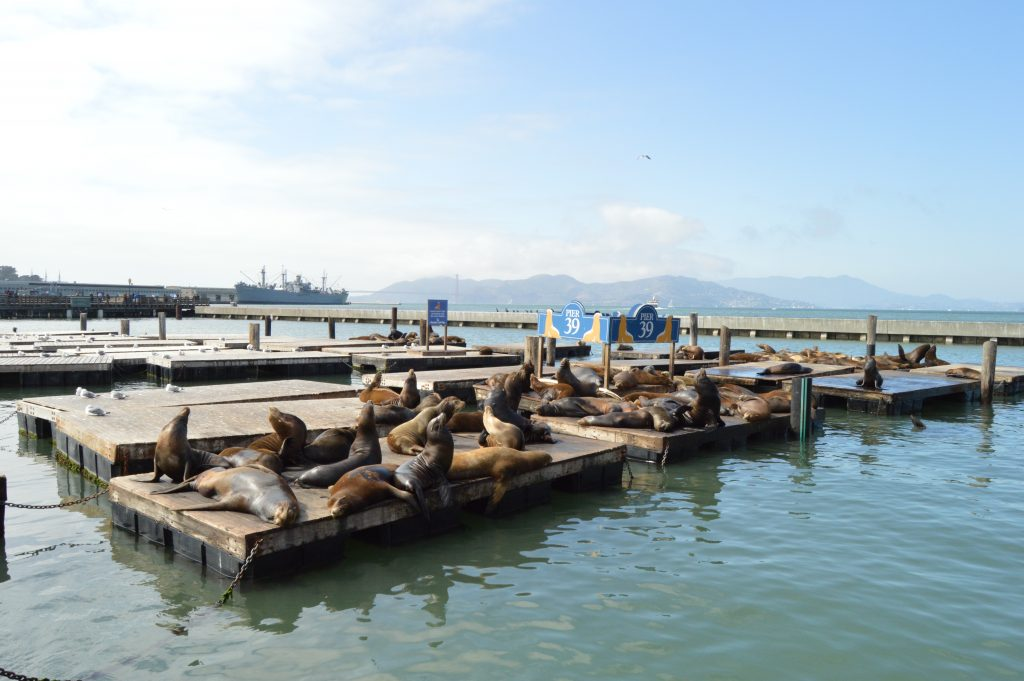 Sea Lions at Pier39