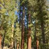 Mariposa Grove: discover the Giant Sequoias